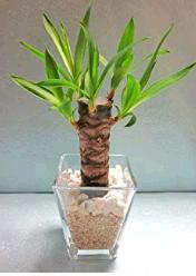 トイレに置くと良い観葉植物は?風水と育てやすさで選ぼう!ユッカ(青年の木)