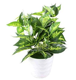 トイレに置くと良い観葉植物は?風水と育てやすさで選ぼう! ポトス