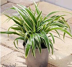 オリヅルラン トイレに置くと良い観葉植物は?風水と育てやすさで選ぼう!