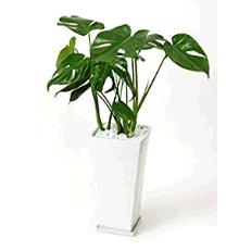 トイレに置くと良い観葉植物は?風水と育てやすさで選ぼう!モンステラ