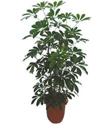 カポックトイレに置くと良い観葉植物は?風水と育てやすさで選ぼう!
