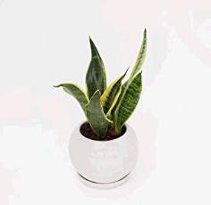 サンスベリア トイレに置くと良い観葉植物は?風水と育てやすさで選ぼう!