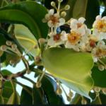 タマヌの花