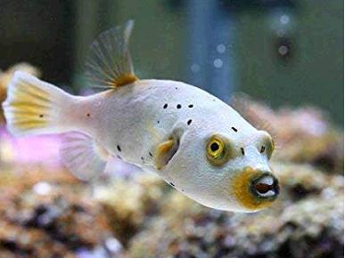 猛毒を持つコクテンフグとは?飼育方法や餌は?犬の顔に似てる!名古屋港水族館にて特別公開!