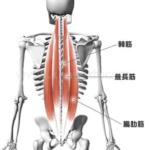 これからデッドリフトで鍛えられる筋肉→デッドリフトの参考になる動画の紹介→デッドリフトを行う場合の注意点→デッドリフトのメニューの組み方→デッドリフトのバリエーション、といった順番で紹介していきます! どこの筋肉がメインで鍛えられるの? 全身の裏側の筋肉は殆ど鍛えられます。 有名どころでいうと ■脊柱起立筋