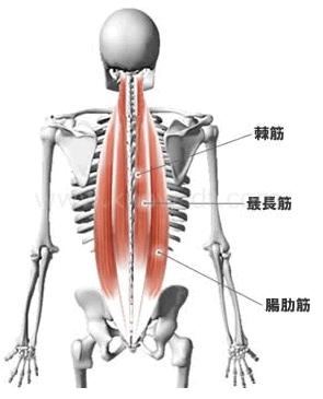 ■脊柱起立筋